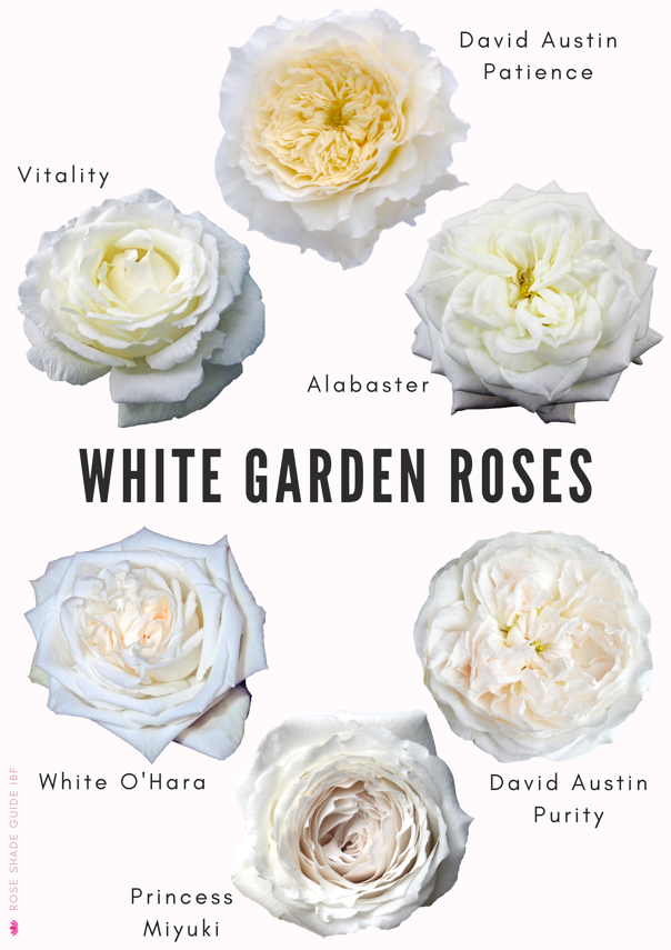 White garden roses shades and colors