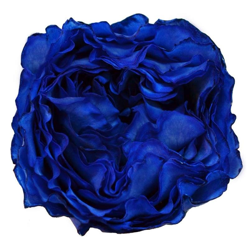 Blue Campanella resized