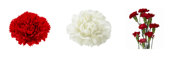 red and white memorial day carnation flowers in bulk wholesale