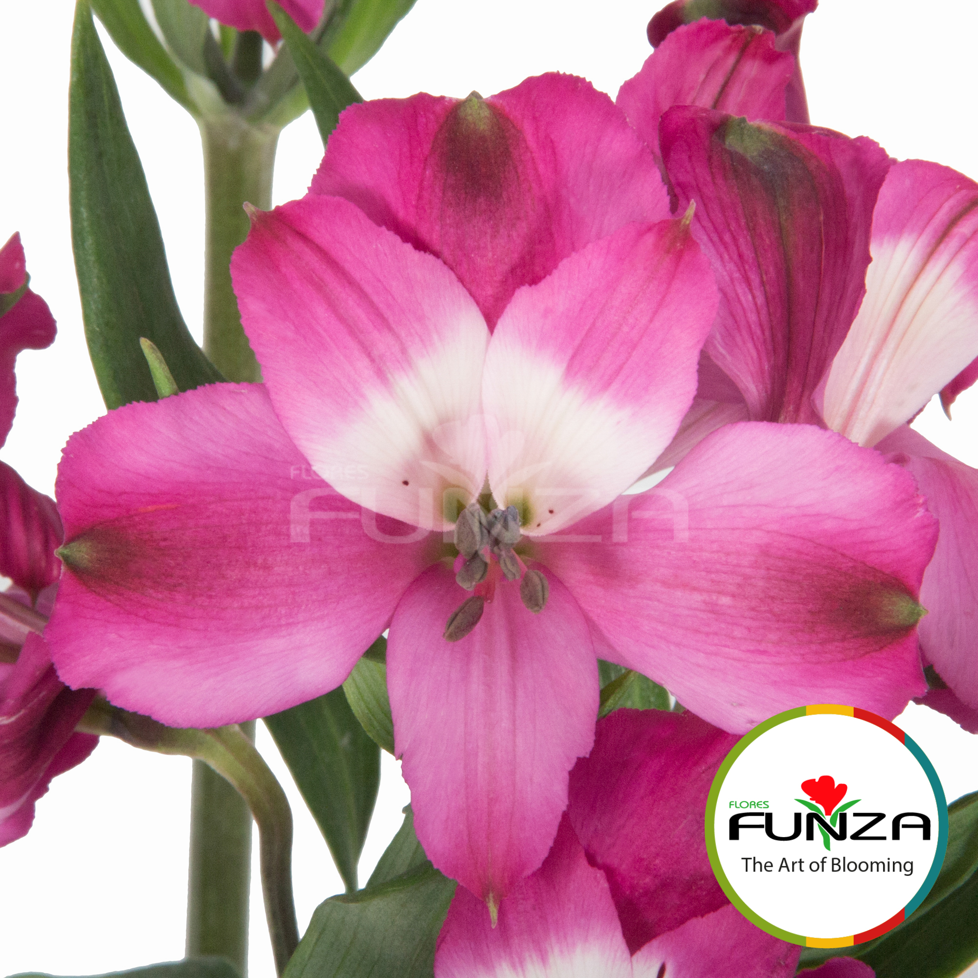 Bright Orchid (4) - Flores Funza