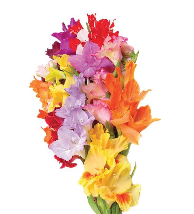 Gladiolus assorted