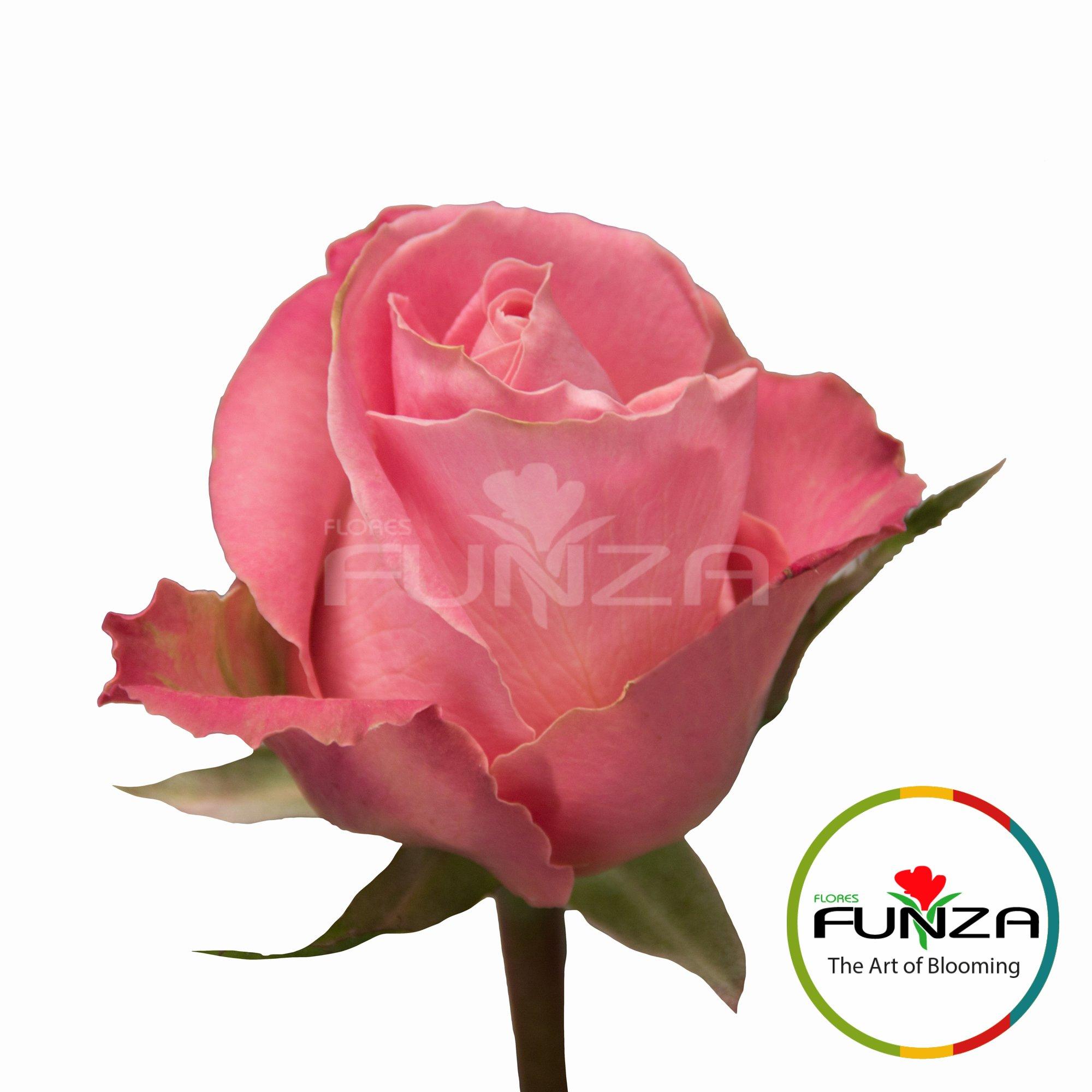 Hermosa (4) - Flores Funza