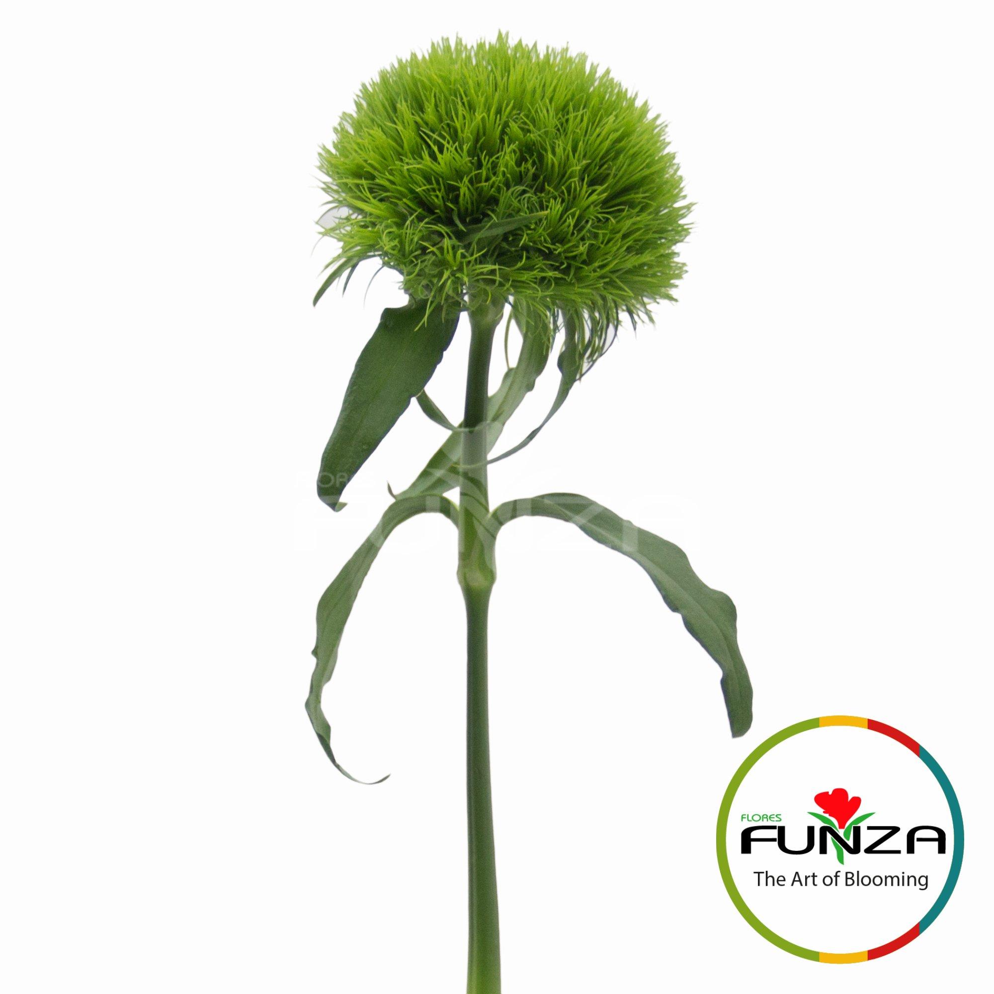 Lady (3) - Flores Funza