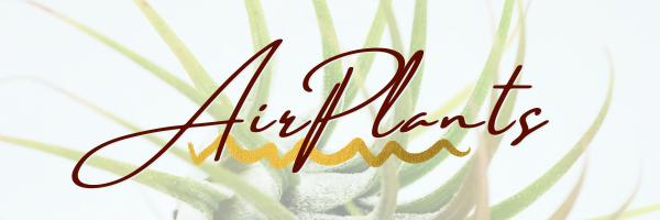 Airplants header blog