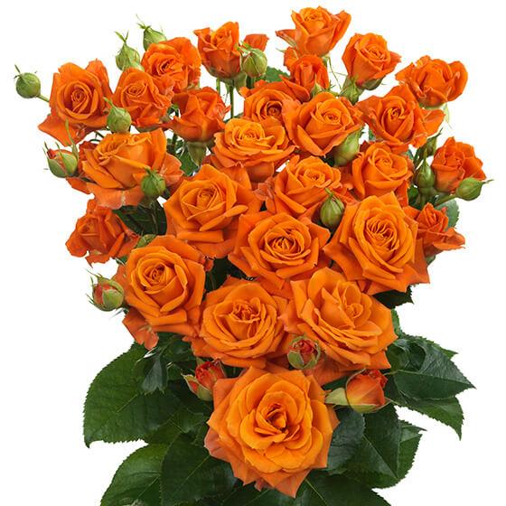 Orange_fire_spray_rose