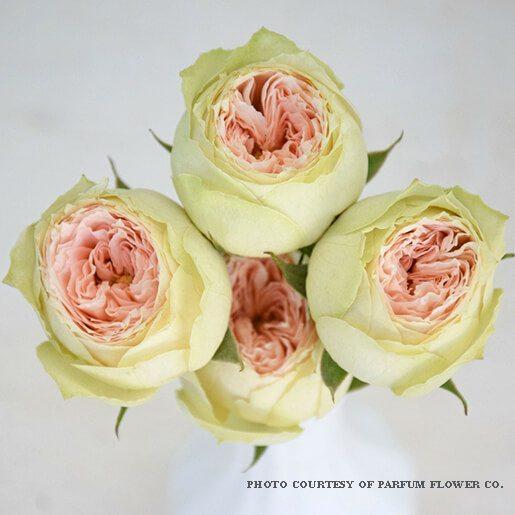 Pavlova_garden_rose