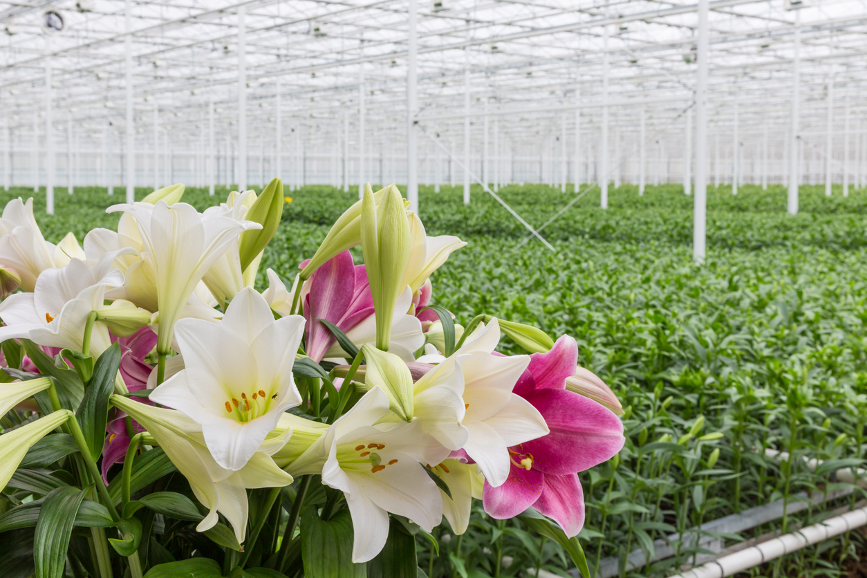 Lillies Greenhouse