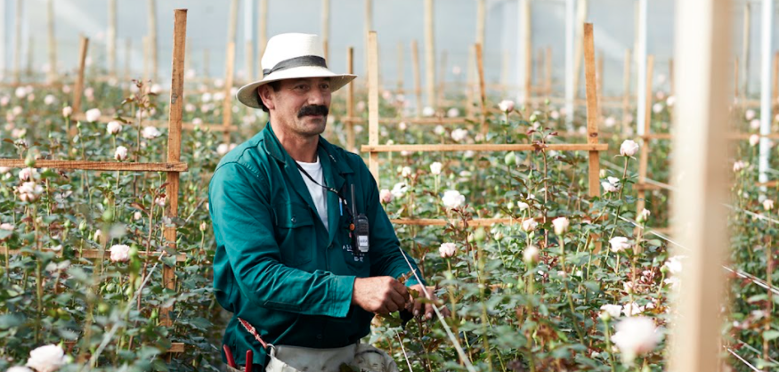 Growing conditions at a rose flower farm