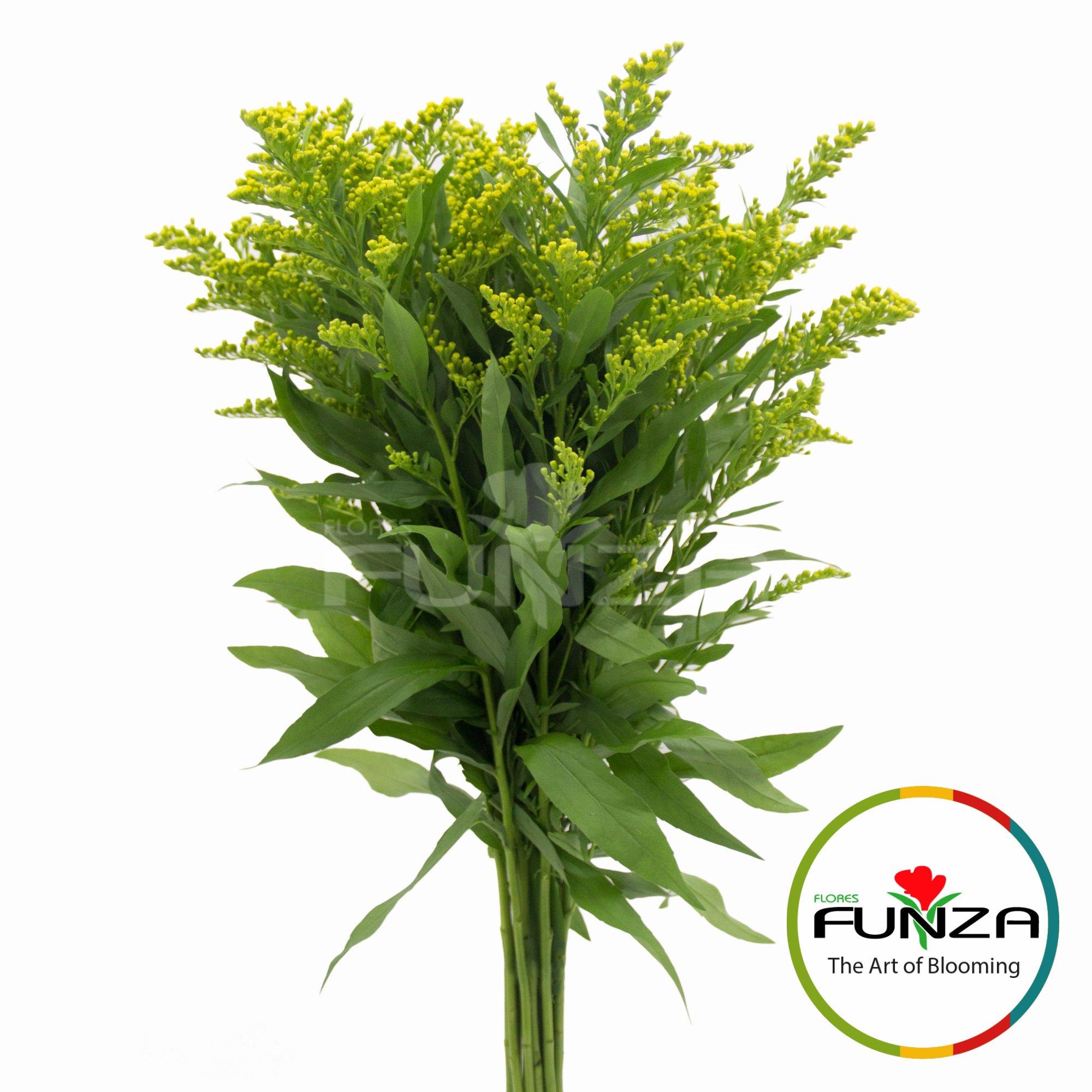 Solidago Golden Glory (1) - Flores Funza