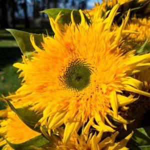 Sunflower_Tavor