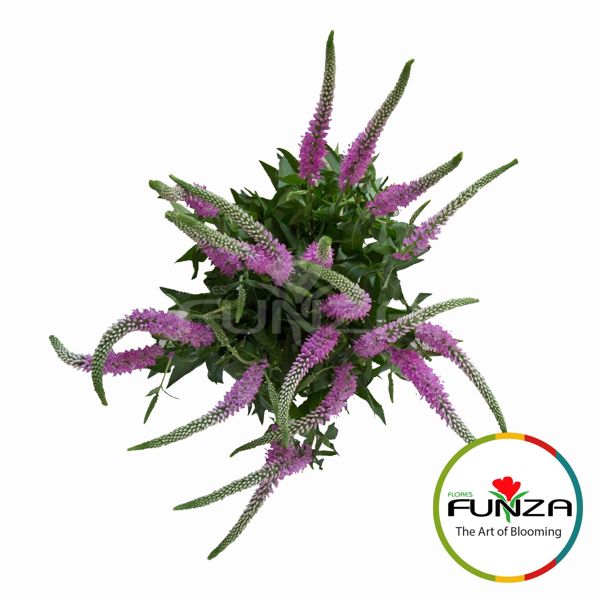 Veronica Pink -  Flores Funza (2)
