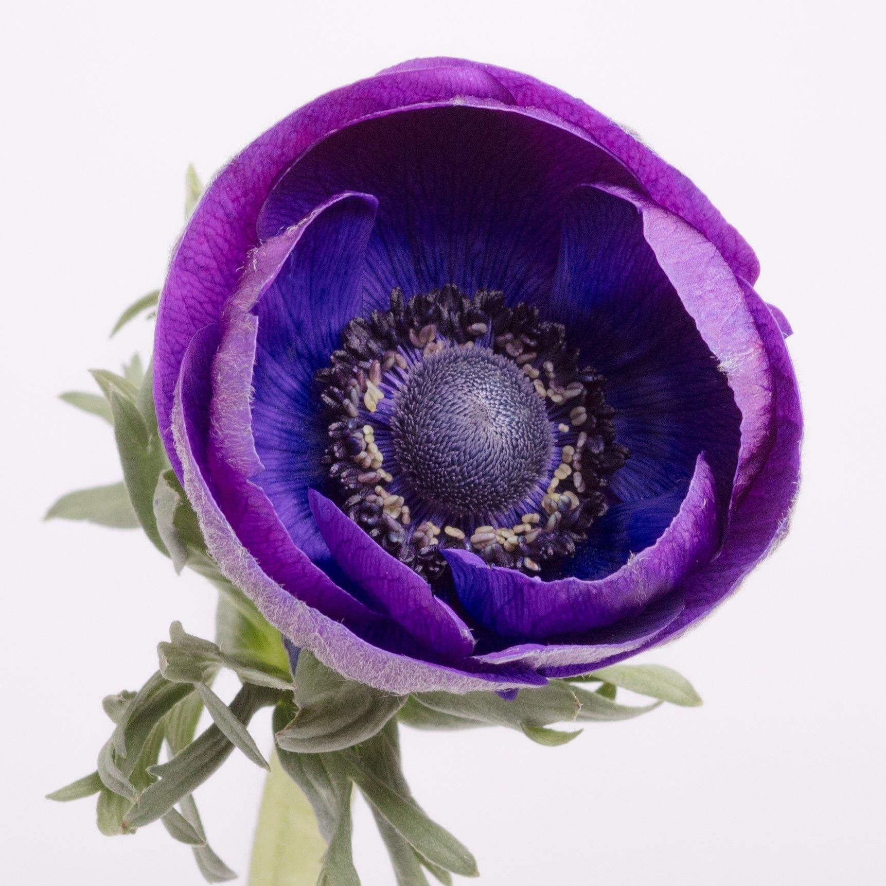 anemone grape - kopie