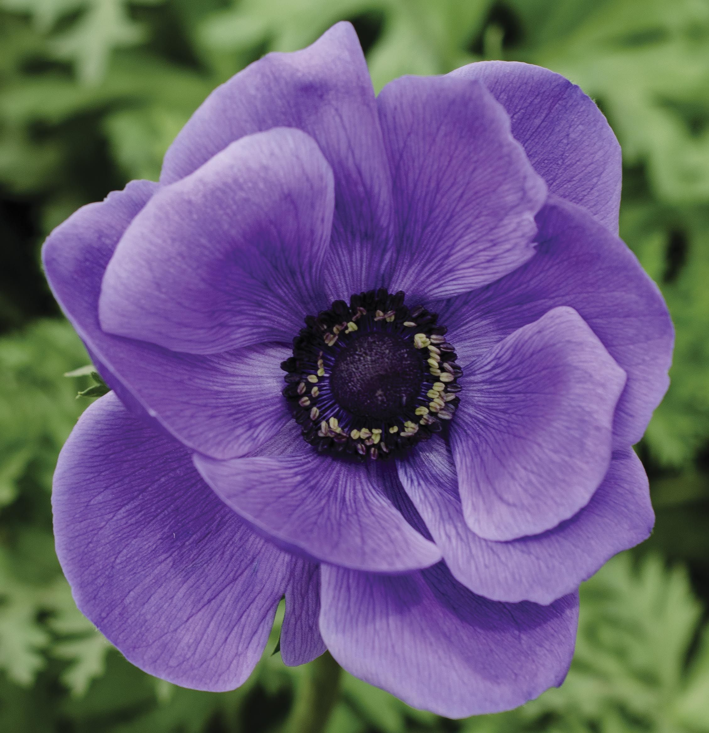 anemone_blue