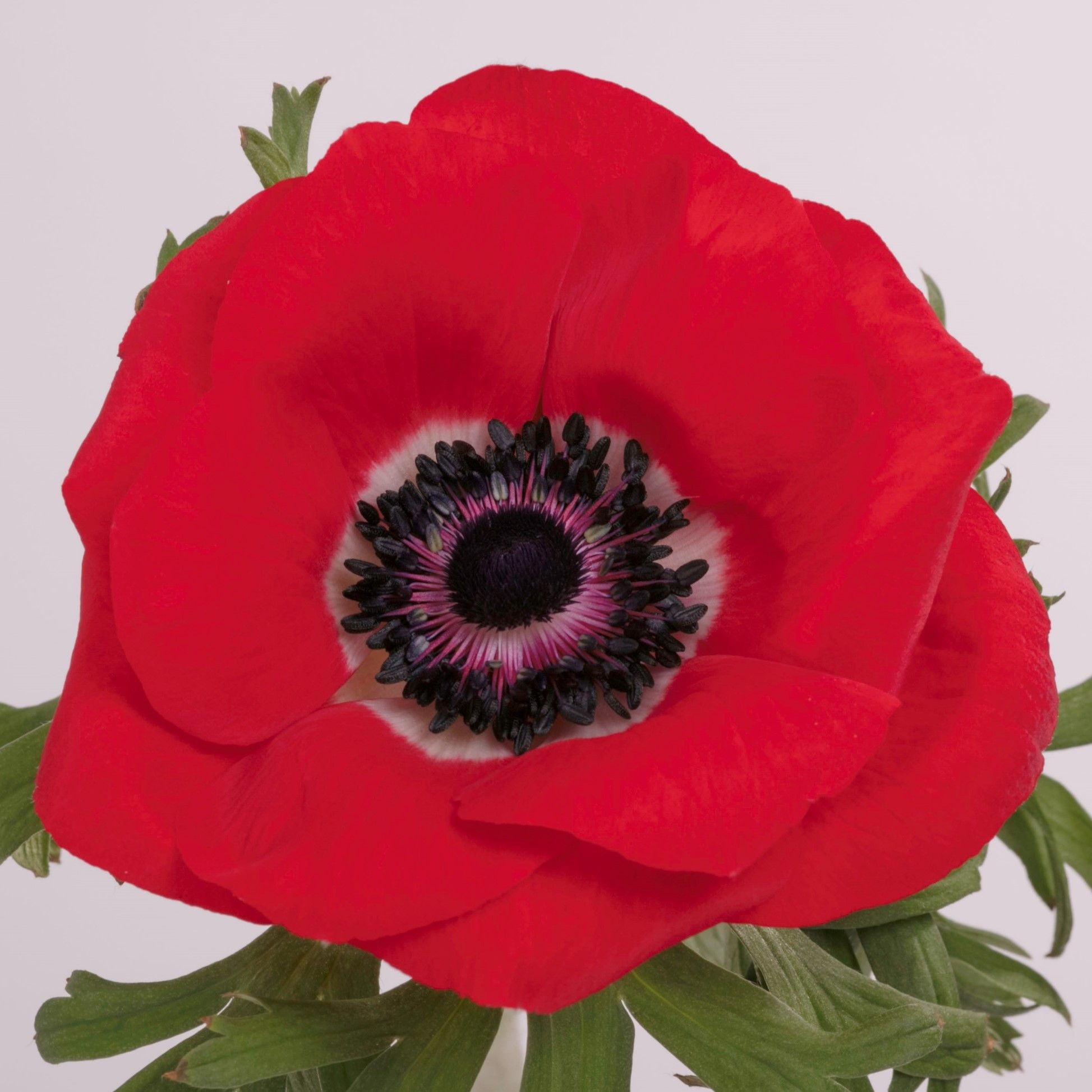 anemone_red