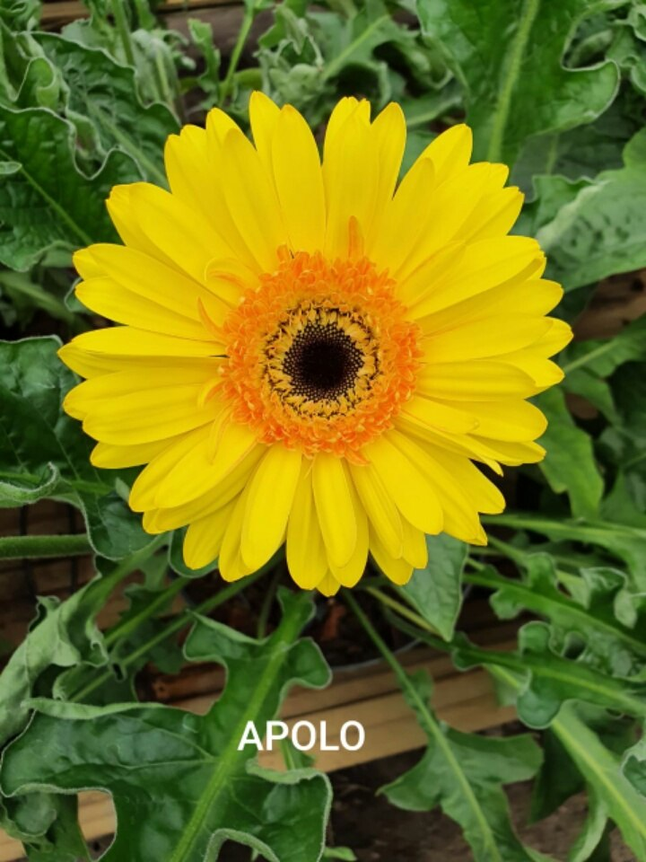 apolo_yellow