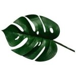 green_monstera