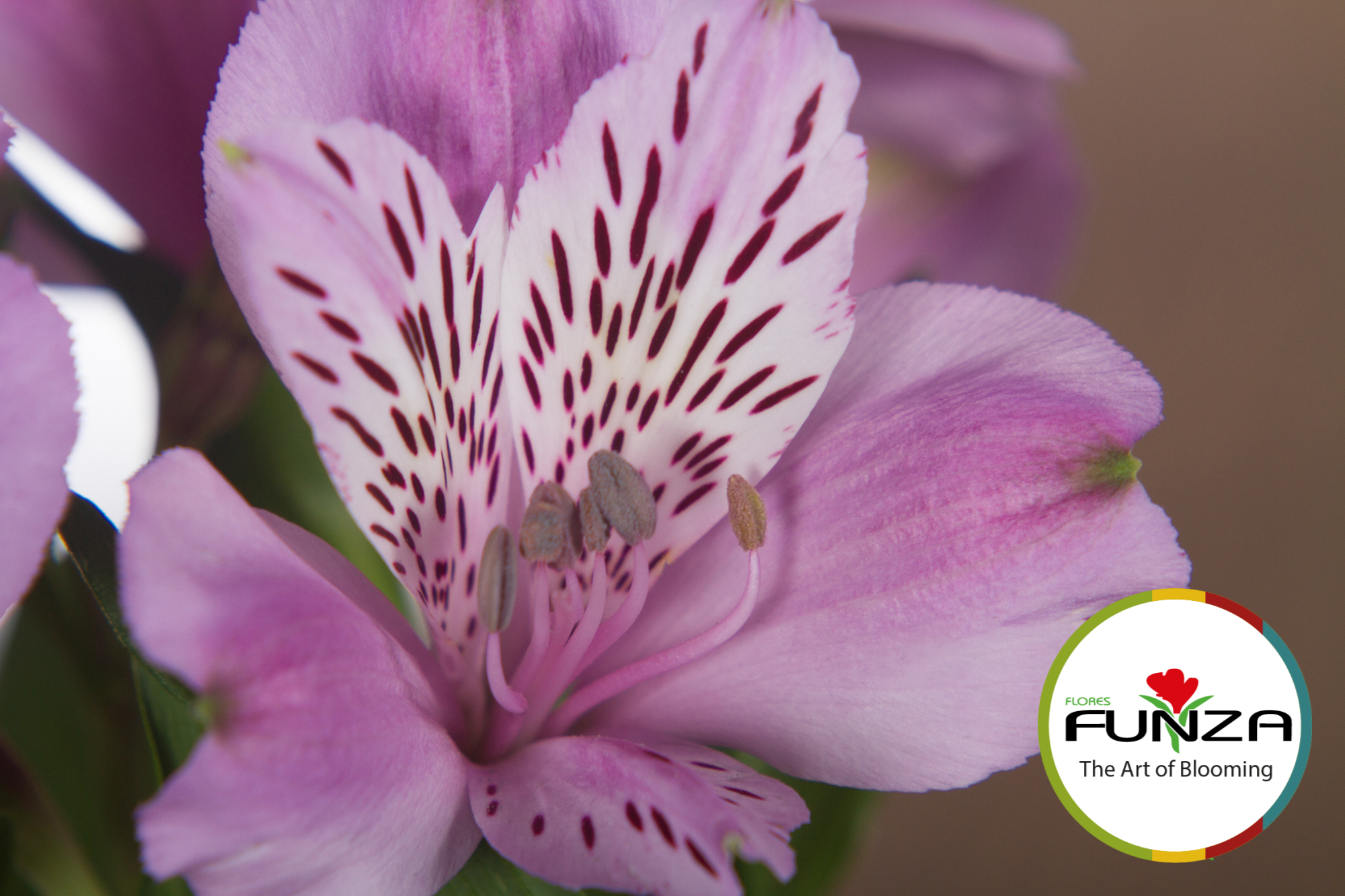 jewell (4) - Flores Funza
