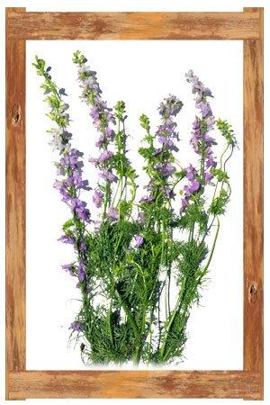 larkspur_lavendar