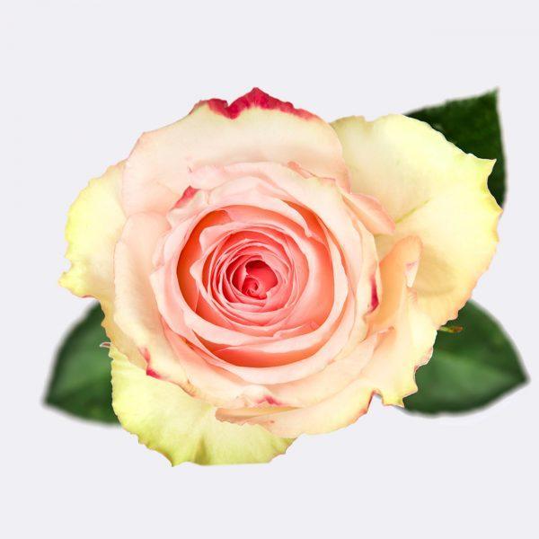 sachaflor-rosa-esperance-