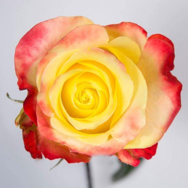 sachaflor-rosa-hot-merengue-